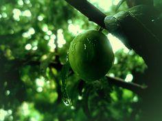 Drops- Apricot -Nature