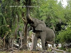 For thousands of years, humans have utilized the brute strength of African and Asian elephants for everything from war to transportation. An elephant's trunk alone contains around muscles and can lift up to 600 pounds. Jungle Animals Pictures, African Jungle Animals, Elephant Pictures, Animal Pictures, Cute Animals, Asian Elephant, Elephant Love, Elephant Photography, Save The Elephants