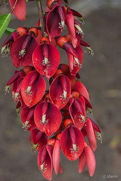 ceibo- flor nacional
