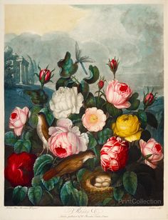 Roses from The Temple of Flora folio published in London between 1777 and 1807 as an Aquatint and mezzotint with stipple engravings and completed by hand - Robert John Thornton