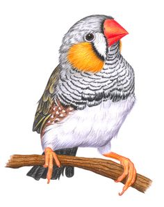 Zebrafinken The Effective Pictures We Offer You About Birds Drawing outline A quality picture can te Birds Painting, Animal Art, Animal Drawings, Animal Sketches, Bird Artwork, Bird Drawings, Animal Paintings, Watercolor Bird, Bird Pictures