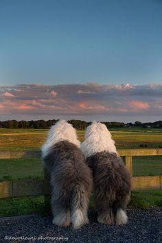 Evening View - Old English Sheep Dogs
