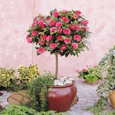Camellia Tree Standard - Pink Flowering Spring Festival Camellia Tree - Trees for Containers - Shrubs & Trees - Garden Plants Large Flowers, Colorful Flowers, Pink Flowers, Patio Plants, Outdoor Plants, Garden Trees, Garden Pots, Camelia Tree, Vegetable Garden