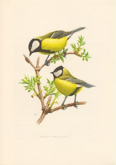1956 Great Tit Antique Print Vintage Lithograph by Craftissimo, €12.95