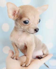 Teacup Chihuahua Puppies for Sale This will make you say Awww out loud.