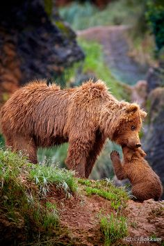 Brown Bear Cub Loves Mum