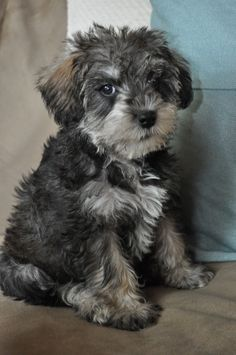 mini schnoodle puppy-chew bear  Taken By: K.Tomic