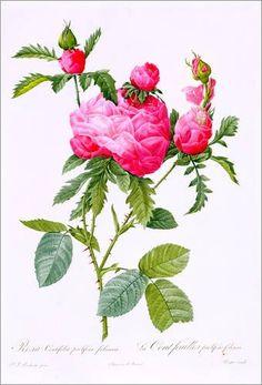 Leinwandbild 80 x 120 cm: Rosa Centifolia Prolifera Foliacea von Pierre Joseph Redouté / Bridgeman Images - fertiges Wandbild, Bild auf Keilrahmen, Fertigbild auf echter Leinwand, Leinwanddruck Jetzt bestellen unter: http://www.woonio.de/p/leinwandbild-80-x-120-cm-rosa-centifolia-prolifera-foliacea-von-pierre-joseph-redoute-bridgeman-images-fertiges-wandbild-bild-auf-keilrahmen-fertigbild-auf-echter-leinwand-leinwanddruck/