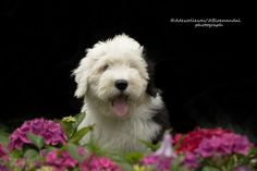 Amy - old English sheepdog puppie Amy