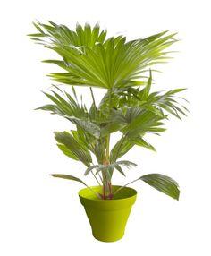 Palmier livistona avec cache pot vert