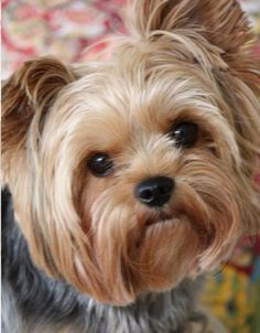 Find out more relevant information on yorkshire terriers. Browse through our internet site. Yorky Terrier, Yorshire Terrier, Bull Terriers, Yorkies, Yorkie Puppy, Teacup Yorkie, Cute Puppies, Cute Dogs, Dogs And Puppies