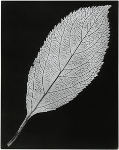 William Henry Fox Talbot: Leaf with a Serrated Edge, c. 1839.