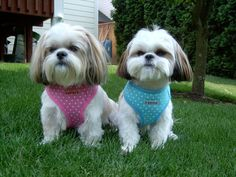 These cuties rock their Puppia harnesses