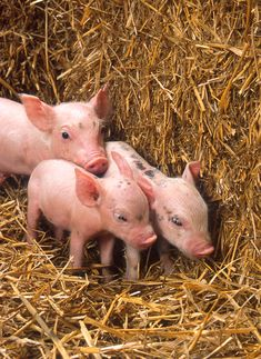 Baby piglets are probably one of the animals that are only cute when they're young. I don't think anyone thinks a grown fat pig is cute? Three Little Pigs, This Little Piggy, Farm Animals, Cute Animals, Baby Piglets, Teacup Piglets, Mini Pigs, Cute Piggies, Otter