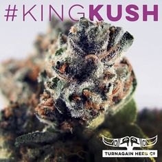 Meet #KingKush: #indica with high #THC high #CBD. #pain #stress #euphoric #THCo #TurnagainHerbCo #GirdwoodTHC #marijuana #cannabis #mmj
