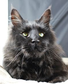 """Maine Coon boy """"Mainefield Ulysses"""""""
