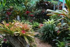 John and Pam Anderson from The International Cordyline Society Small Tropical Gardens, Tropical Garden Design, Colorful Garden, Tropical Plants, Florida Plants, Florida Gardening, Fence Landscaping, Tropical Landscaping, Garden Planters