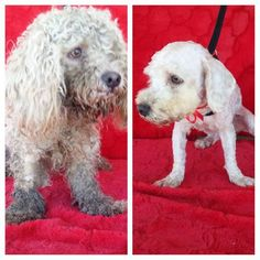 Urgent AT NORTH CENTRAL SHELTER ON MEDICAL ALERT! ID#A1541144,stray...Poodle mix,4 years old,12 pounds This SWEET little guy was in terrible condition, depressed so dirty and matted and he  felling well    The shelter thinks I am about 4 years old. I weigh approximately 12 pounds.  I have been at the shelter since Mar 17, 2015. http://www.petharbor.com/pet.asp?uaid=LACT4.A1541144