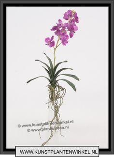 orchidee wanda violet 8,50 excl btw