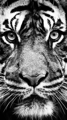 ↑↑TAP AND GET THE FREE APP! Art Creative Black White Tiger Animal HD iPhone Wallpaper