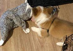 Untitled Pembroke Welsh Corgi, Dogs, Animals, Animales, Animaux, Doggies, Animais, Dog, Animal