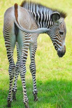 Bebe zebre