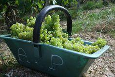Beau panier de raisins chardonnay Beautiful chardonnay grapes in their basket harvest 2014