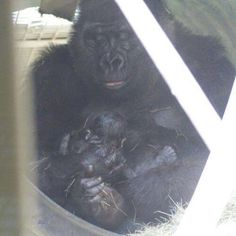 A second baby gorilla born at the Zoo a few days later!!