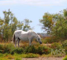 White horse - Camargue #france #francia #camargue #whitehorse #horse #breed #wild #nature #amazing #beautifuldestinations #camarguehorse #mss http://ift.tt/2eBHQB8