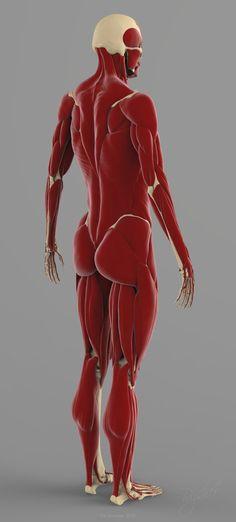 precise human skeleton muscles 3d model