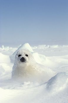 Harp Seal Cub' from Heather Angel/Natural Visions … how sweet is this little fellow! Cute Wild Animals, Animals Beautiful, Animals And Pets, Funny Animals, Cute Seals, Harp Seal, Elephant Seal, Seal Pup, Heather Angel