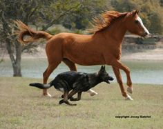 Dark sable german shepherd running with horse
