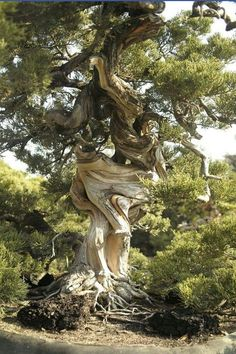 Old juniper tree! Photo credit: Animal and NatureNature is So ooo amazing!this tree is a survivorThis tree shows us how to adjust to the twists and turns of life! What majesty!patterns in nature