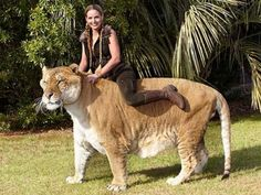 Oversized pet liger. 'Hercules' the Liger stands 49 inches tall at the shoulder.