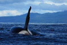 Transient Killer Whale near BC