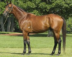 Big Brown (USA) 2005 (Boundary-Mien), winner of the 2008 Kentucky Derby & Preakness Stakes. Sire of Dortmund. Derby Winners, Thoroughbred Horse, Buckskin Horses, Sport Of Kings, Big Brown, Brown Horse, Racehorse, Show Jumping, Horse Breeds