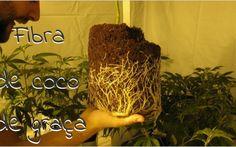 Aprenda a fazer fibra de coco em casa e economize dinheiro em seu substrato