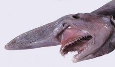 Ora sappiamo a quale creatura si ispirà l'inventore del film Alien: lo Squalo goblin!