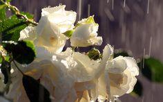 Wet White Roses