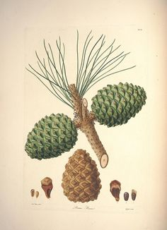 Pinus pineaby BioDivLibrary on Flickr.  The Stone Pine is a source of most European pine nuts, other species are cultivated elsewhere.  A description of the genus Pinus :.London :J. White,1803-1824..biodiversitylibrary.org/page/31681165