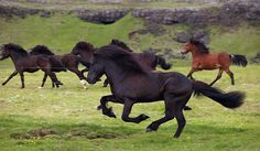 It would be fantastic to really see an Icelandic horse in it's natural habitat, along with all the beautiful scenery in Iceland.
