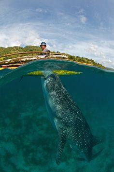 Whale shark hand feeding from a fisherman in Oslob, Cebu. This controversial practice has drawn a lot of tourists to this area of the Philip...