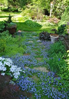 Creeping Mazus, ground cover // Great Gardens  Ideas //
