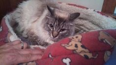 Gibson is an adoptable Ragdoll Cat in Cumberland, ME. This handsome young man is a Ragdoll with papers, but looks very much like a Lynx Point Himmie. Gibby, as he is affectionately called by his foste...