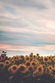 one of the most beautiful places on camp grounds: the sunflower fields. All The Bright Places, Sunflower Fields, Sunflower Flower, Sunflower Season, Jolie Photo, Mellow Yellow, Yellow Sun, Phone Backgrounds, Iphone Wallpapers