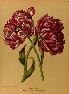 165369 Tulipa hort.  / Eeden, A.C. van, Album van Eeden, Haarlem's flora, afbeeldingen in kleurendruk van verschillende bol- en knolgewassen, p. 2, t. 3 (1872-1881)