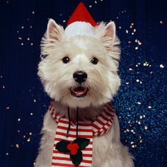 West Highland white terrier wearing Santa hat and striped scarf