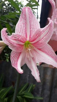 Lily sweety