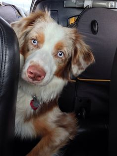 Australian Shepherd Red Merle...oh my goodness!!! Evan wants a lab because they are short hair, but if we have the farm, an Aussie would be perfect I think!
