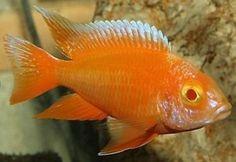 Malawi Cichlid - Aulonocara Albino 2-4 cm at Aquarist Classifieds